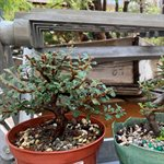 Cotoneaster Microphylla