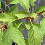 Prunus Nipponica Kurilensis