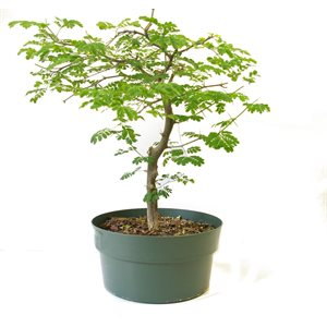 Pithecellobium Tortum (Chloroleucon) Brazilian RainTree