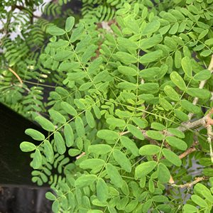 Pithecellobium Tortum (Chloroleucon) Brazilian RainTree
