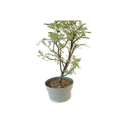 Acacia Farnesiana - Sweet Acacia